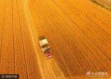 2017年5月30日,端午节,山东聊城市茌平县75万多亩小麦进入成熟收获期,当地农民利用晴好天气加快机收进度,确保夏粮颗粒归仓,田间地头一片繁忙的丰收景象。