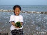 2017年7月5日,山东威海,荣成市滨海公园海水浴场北端现长100多米的海菜潮。海浪卷着大量的海藻、龙须菜、海带等海菜,冲打着海岸,形成一道独特的墨绿色的海菜潮,吸引部分游客在海滩边捡拾。