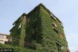 2017年7月10日,在山东济南历山路上,一居民楼爬满爬山虎绿色植被,炎炎夏日带来几许凉意,有居民称如同天然空调一样给大楼降温。