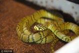 """8月14日,在中科院成都分院生物研究所,蛇类研究专家丁利惊喜地发现,3年前他找到的横斑锦蛇产下的蛇卵全部受精成功,发育健康,""""预计半个月后就孵出了!"""""""