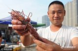 2017年9月19日,山东省青岛市,一只约4两重、体长在26公分的野生大虾被渔民捕获,在渔港市场售价仅50元。