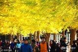 2017年10月16日,辽宁沈阳,著名的辽宁大学银杏路进入观赏期,位于校园内的320余棵银杏树金黄灿烂摇曳多姿,吸引了大批市民前来参观游玩。
