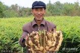 2017年10月18日,山东潍坊,安丘市辉渠镇李家河村的农户正在收获大姜。11.6斤的一块姜在村里的姜王评比中,拔得头筹。