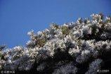 2017年11月20日,受雾气和低温天气影响,山东临沂沂蒙山龟蒙景区出现今年首次雾凇景观。蒙山龟蒙峰为山东第二高峰,海拔1156米,每年冬天极易出现雾凇美景。