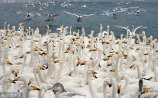 2018年1月8日,山东威海,入冬以来,成群结队的大天鹅飞抵荣成大天鹅国家级自然保护区越冬。