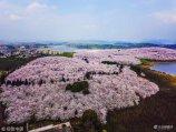 2018年3月13日,贵州省贵阳市贵安新区原平坝农场万亩樱花花开,高空俯瞰十分壮观,令人沉醉。