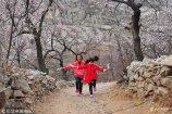 2018年3月17日,山东济宁,在梁山县梁山山下杏花村,含有百年以上树龄的杏花盛开,再现山寺杏花盛开美景,游客流连忘返。