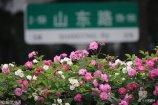 2018年5月15日,青岛市山东路蔷薇怒放醉人。近日,岛城大街小巷五彩缤纷的蔷薇花竞相怒放,清香四溢扮靓青岛,令人陶醉。