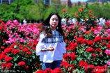 2018年5月21日,青岛,山东科技大学宿舍与教学区间的百亩月季进入盛花期,大学生在月季花海中拍照。