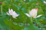 2108年8月9日,济南华山湖的荷花正值开放旺季,万紫千红的荷花十分妖娆,将华山湖妆点得分外美丽。