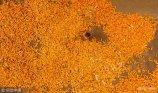 2018年9月10日,山东省聊城市茌平县的玉米相继进入成熟收获期,当地的村民开始忙着收获玉米,为秋粮丰收打下良好基础,田间地头一片丰收的景象。
