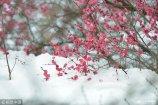 2019年2月11日,南京市雨花台公园内梅花绽放枝头,暗香浮动,沁人心脾。