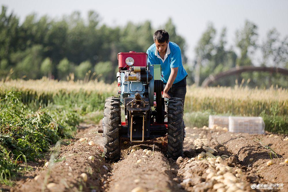枣庄:农民种植马铃薯喜获丰收