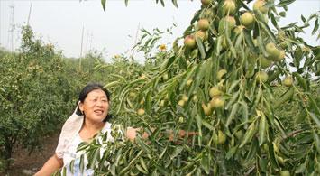 沾化冬枣已形成产业