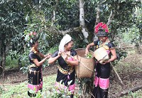 老曼峨最宝贝的财富就是这些老茶树