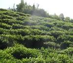 德昂族 茶叶的后代