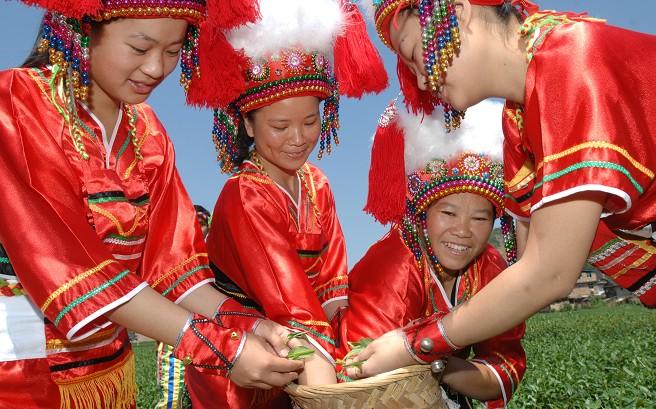 高山族女子正在采茶