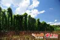 老鸦树村的糯山药与百合种植