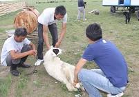 为欢迎采访团宝音巴图宰杀了一只羊