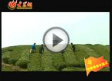 畲族的茶文化