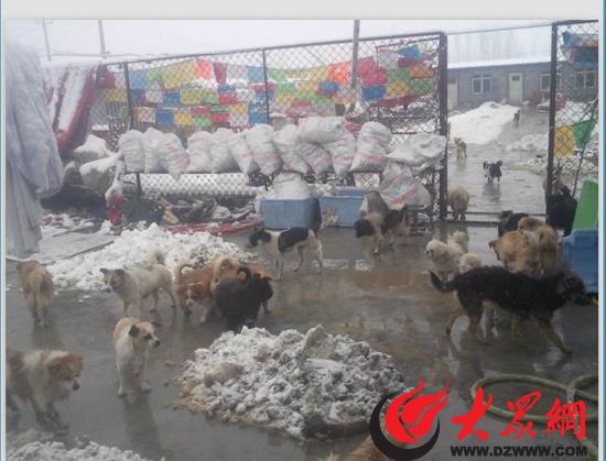 狗狗们平安度过昨晚的大雪,后面袋子里的就是它们一顿饭所需要的2500多个馒头。  泰山动物保护中心的前院也搭起了棚子,供狗狗们过冬使用。 大众网济南12月21日讯(记者 尹海洋)大雪过后,泰山小动物中心的流浪狗们牵动着众多网友的心。今天上午,大众网记者联系山东泰山小动物保护中心工作人员得知,大雪之前,工作人员就已经将所有狗狗安排进屋,没有一只狗在下雪期间冻死,但为狗狗取暖的被褥却出现告急现象。 一场大雪,让济南市的气温骤降,不少爱心人士也开始牵挂流浪狗猫的生存状况,它们是否在风雪中安然无恙?它们的御寒物