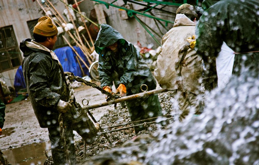 山东省日照市岚山区渔码头内,辛勤的收获海虹的工人,他们每小时的工钱只有二十元。