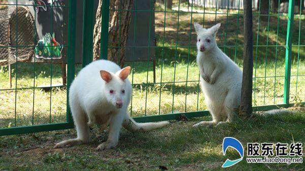 罕见白袋鼠亮相烟台动物园 十一假期快乐约起来