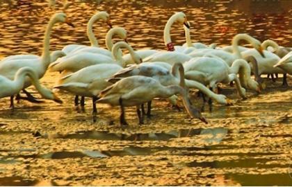 金色天鹅湖