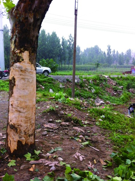路边的梧桐树被蹭掉了树皮记者郑芷南摄