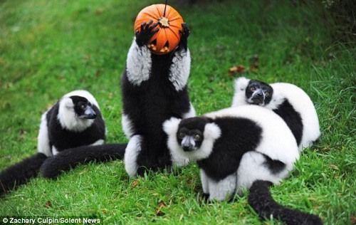 日前,英国贝德福德郡一家野生动物园的狐猴们戴上了万圣节面具,搞怪的