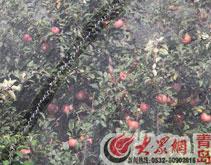 """青岛科研苹果丢失 科研基地村民不知""""果贵"""""""