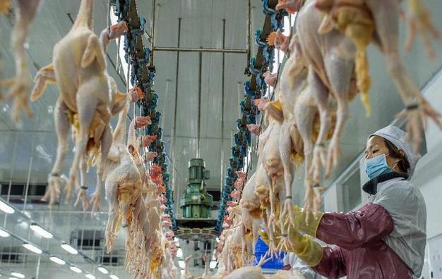 肉鸡屠宰生产线。(资料图).png