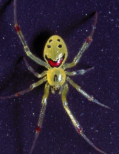 """夏威夷发现""""笑脸蜘蛛"""""""