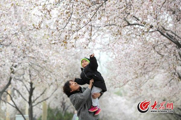 日本太远,济南这俩地的樱花一样美醉了!
