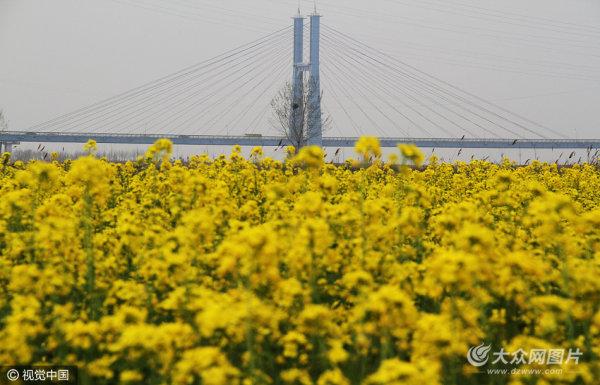 """航拍黄河大桥边油菜花""""披金""""?画面壮美"""