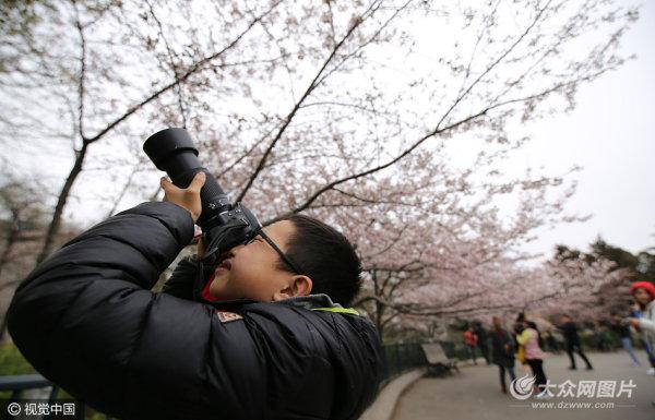 青岛迎赏樱季 粉红花海扮靓城区