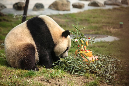 大众网济南7月27日讯(记者 贺辉)今天,济南动物园的大熊猫叮叮迎来了它四周岁的生日,上百名游客为叮叮送上祝福。   上午10点,饲养员请出了小寿星叮叮,面对用水果、竹叶、冰块、窝头做成的特殊生日蛋糕,叮叮缓缓的走过去,先用鼻子嗅了嗅,又抬头看了看场外的观众,像是在说:美食,鉴定完毕!。接着,就坐在草地上津津有味地享用起来。   叮叮吃蛋糕时憨态可掬的样子,赢得了场外小朋友的欢呼。现场观众纷纷拿起相机、手机记录这精彩的一刻。自去年1月底来到济南动物园后,叮叮在这里吃的开心、住的舒