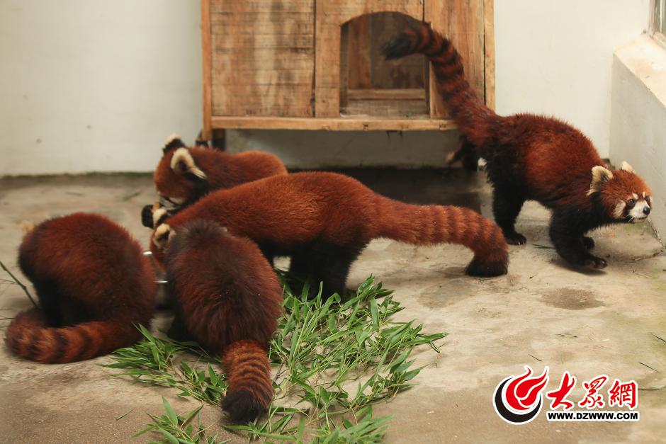 6月10日,六只呆萌小熊猫入住济南动物园小熊猫馆,正式与市民游客见面。据了解,六只小熊猫来自安徽铜陵动物园,三雌三雄,年龄在三至五岁之间,正值芳华豆蔻之年。大众网记者 王长坤 摄  6月10日,六只呆萌小熊猫入住济南动物园小熊猫馆,正式与市民游客见面。据了解,六只小熊猫来自安徽铜陵动物园,三雌三雄,年龄在三至五岁之间,正值芳华豆蔻之年。大众网记者 王长坤 摄  6月10日,六只呆萌小熊猫入住济南动物园小熊猫馆,正式与市民游客见面。据了解,六只小熊猫来自安徽铜陵动物园,三雌三雄,年龄在三至五岁之间,正值