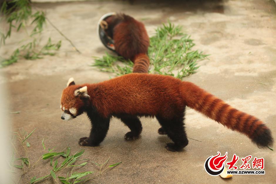 六只呆萌小熊猫安家济南动物园