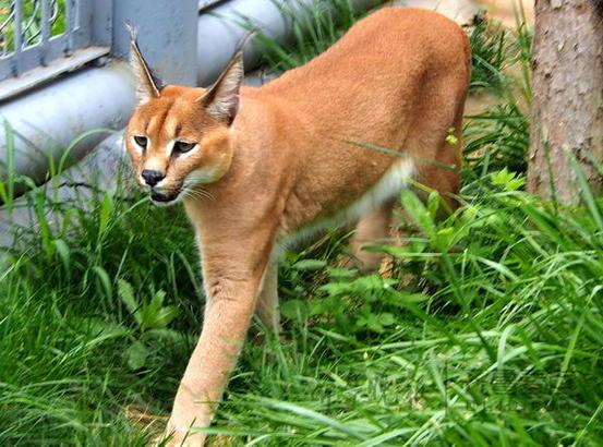 """济南野生动物世界在六月份还成功引进了一对恩爱的狞猫""""小夫妻"""",它们"""