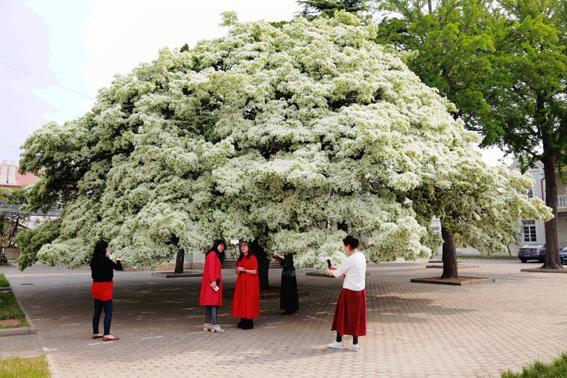 """流苏树俗称""""四月雪"""",因每年阴历四月前后开花而得名,如今这里已成为"""