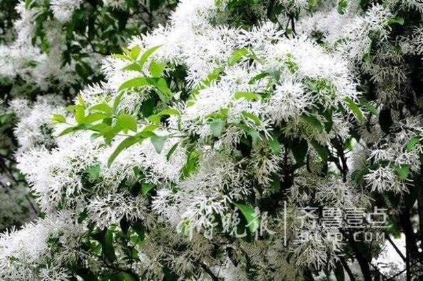 流苏别名萝卜丝花,牛筋子,乌金子,茶叶树,四月雪,是木犀科流苏树属