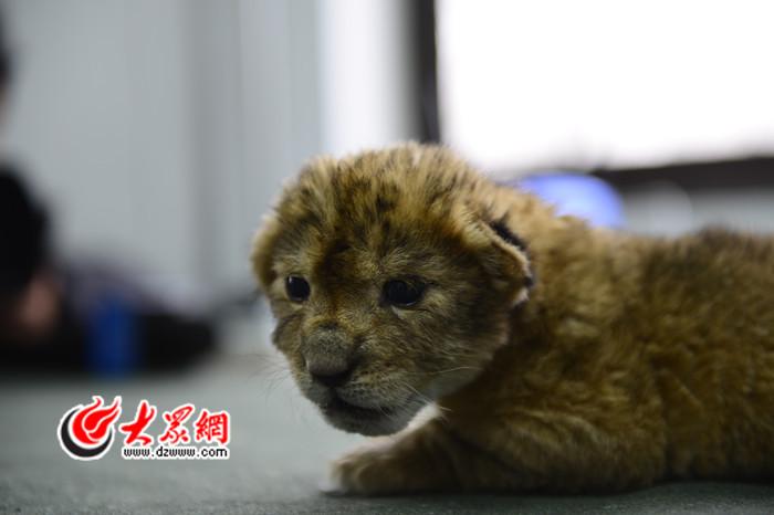 小狮子的眼神萌萌哒