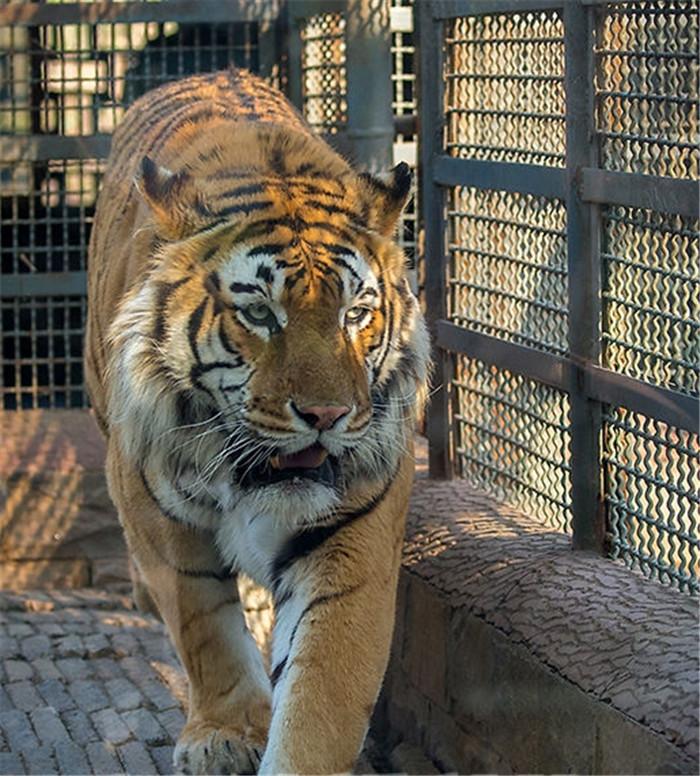 """看腻了真老虎?十一来济南动物园看""""纸老虎"""""""