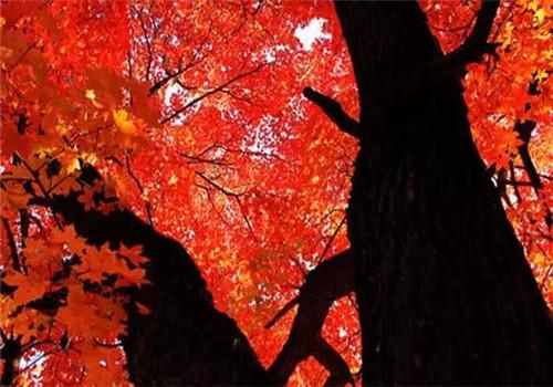 原山的红叶,饱经岁月的磨砺,燃烧火一样的激情;不惧美丽的短暂,红