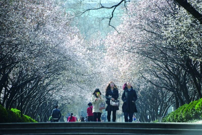 """山师校园的""""花海""""也不逊于武汉大学樱花"""