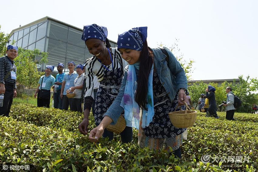 2017年5月7日,留学生在青岛黄岛海青街道办事处茶园采摘新茶.