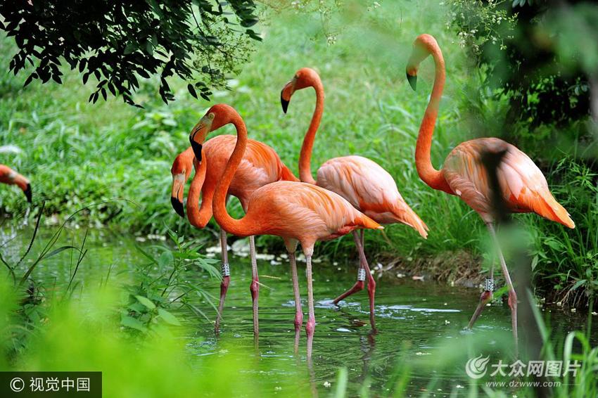 7月29日,青岛森林野生动物世界,火烈鸟在水池中优雅的觅食享受清凉.