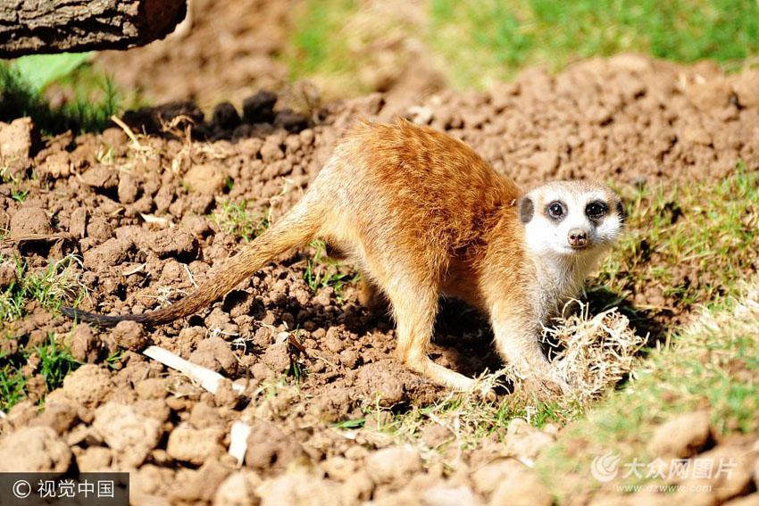 青岛森林野生动物世界 非洲细尾獴的安适生活