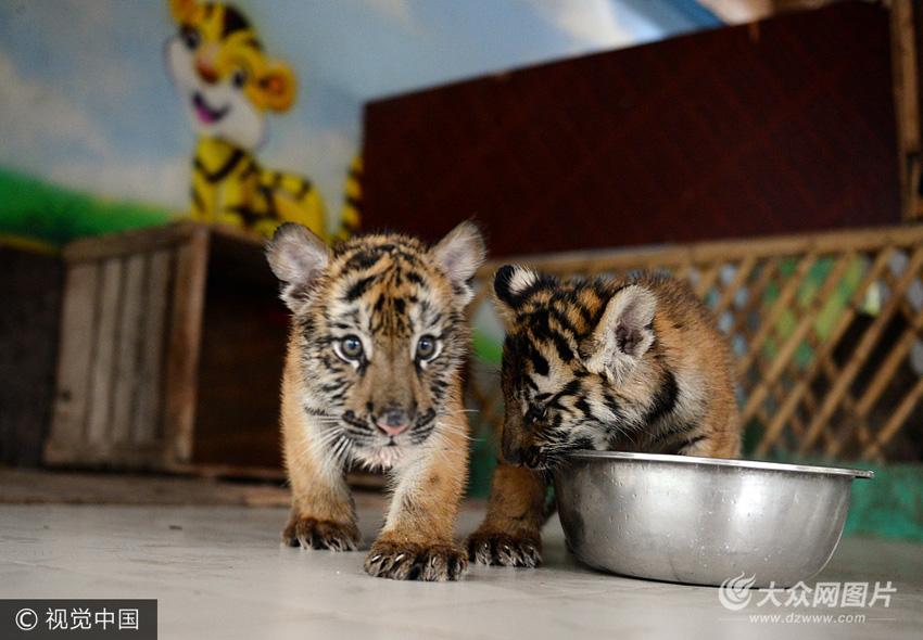 聊城野生动物园两只东北虎满月 见游客一脸呆萌